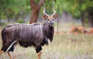 Nyala caccia in sudafrica Montefeltro