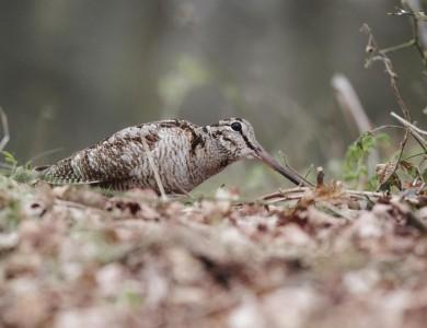 scozia caccia alla beccaccia Montefeltro