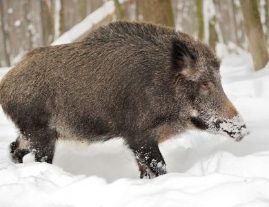 caccia al cinghiale bulgaria montefeltro