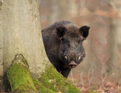 riserva di caccia al cinghiale Fiordimonte caccia alla beccaccia riserva di caccia