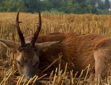 caccia al capriolo ungheria caccia al fippio del capriolo in romania montefeltro
