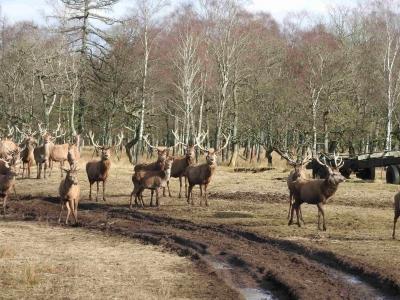caccia al cervo in scozia Montefeltro 2018