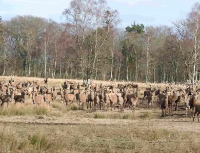 caccia al cervo in scozia branco cervi rossi Montefeltro viaggi di caccia