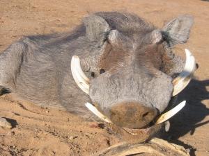 viaggi caccia africa sudafrica Montefeltro facocero