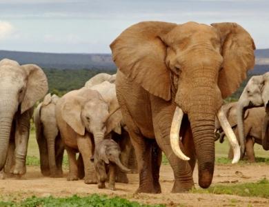 zimbabwe branco di elefanti caccia grossa caccia elefante Montefeltro