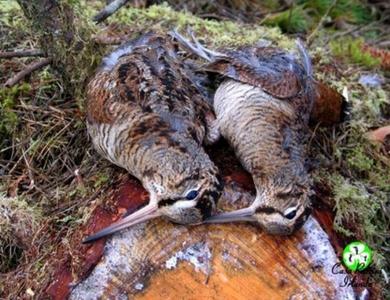 caccia alla beccaccia crimea-Montefeltro viaggi di caccia