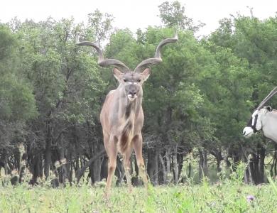kudu trophies