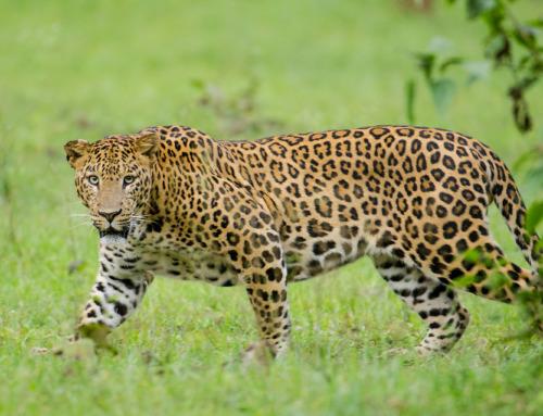 Caccia al leopardo: un'esperienza unica nel meraviglioso continente nero!