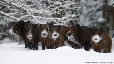 caccia al cinghiale montefeltro viaggi di caccia
