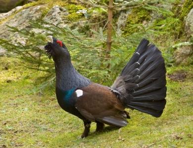caccia al gallo cedrone bulgaria Montefeltro