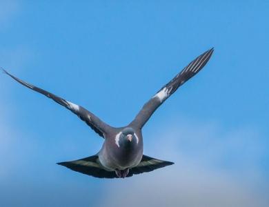 caccia al colombaccio colombacci scozia Montefeltro viaggi di caccia