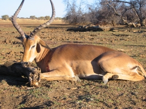 viaggi caccia africa sudafrica Montefeltro impala antilopi