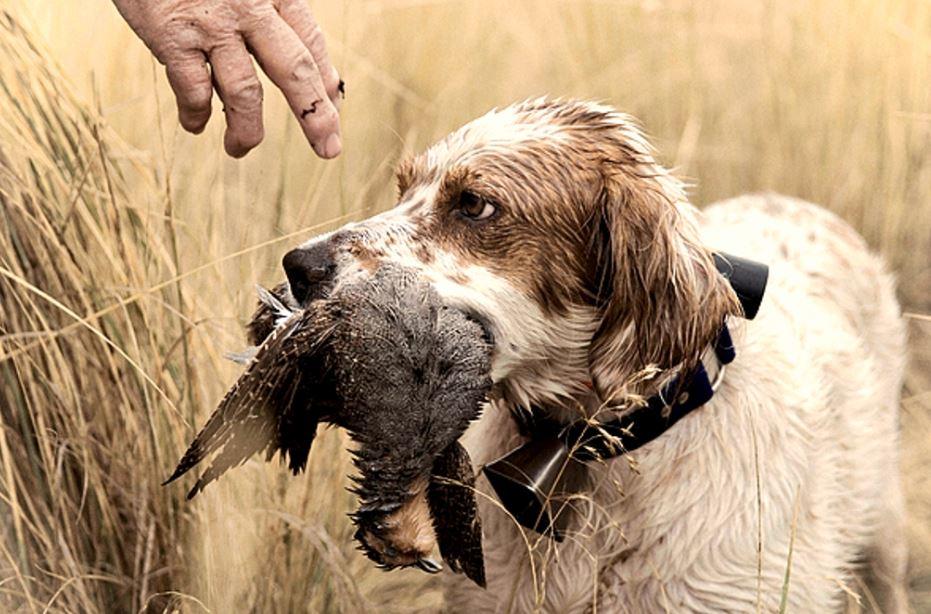 caccia alle starne col cane montefeltro