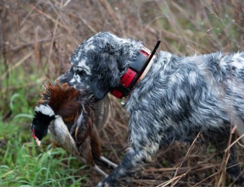 Come preparare il cane alla stagione di caccia?