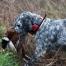 come preparare il cane alla stagione di caccia