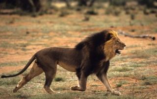 caccia al leone in tanzania