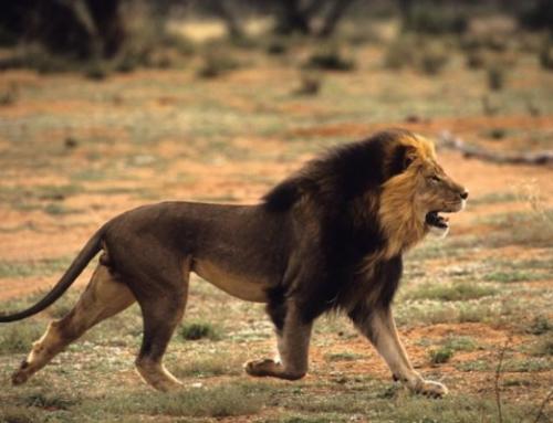 """Il mio """"Simba"""", caccia al leone in Tanzania"""