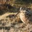 caccia alle beccacce in bulgaria