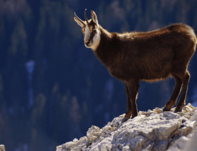 hunting chamois alps