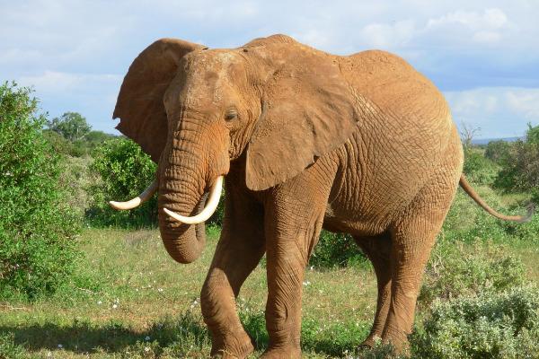 caccia all'elefante