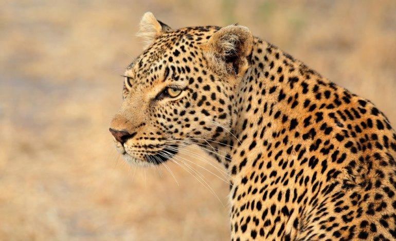 caccia al leopardo