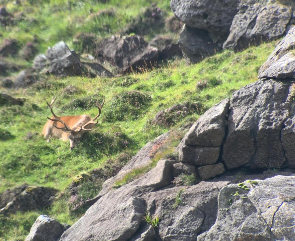 caccia cervo rosso