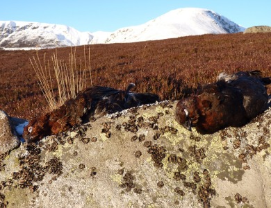 scozia caccia alla red grouse
