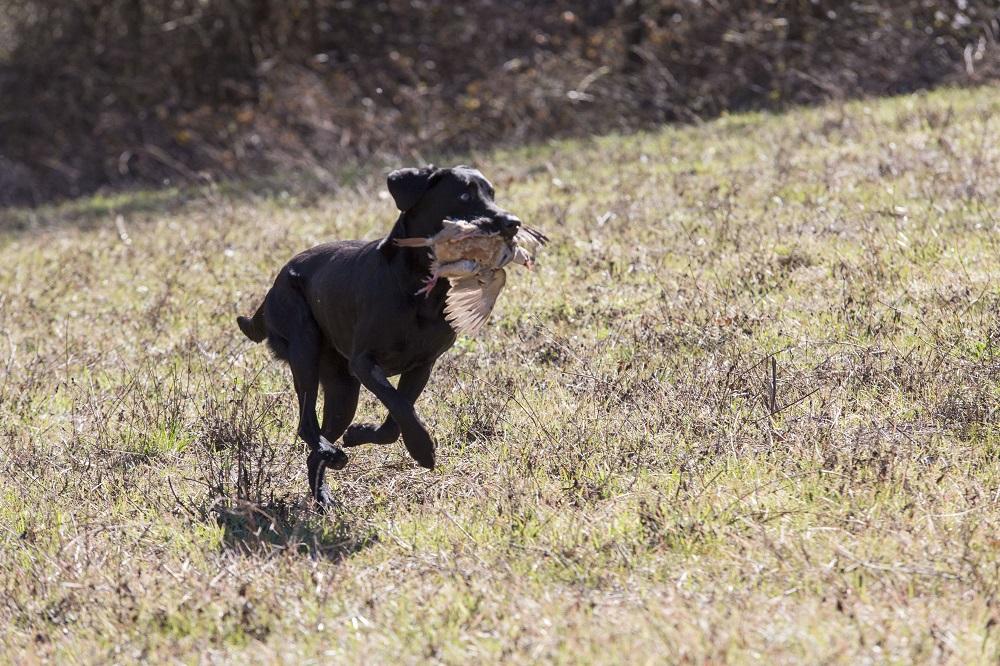 caccia cane da ferma