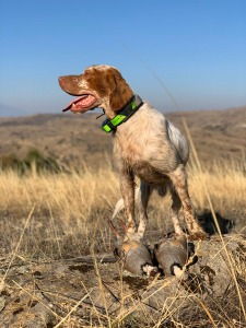 partridge hunt with dog