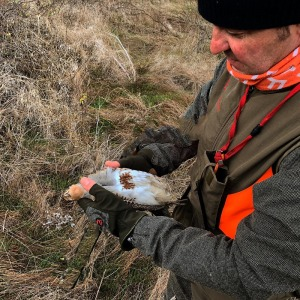 hunting partridges with dogs