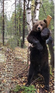 brown bear in russia